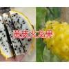 黄皮火龙果-云南红心火龙果基地/台湾大红火龙果销售