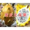 黄皮火龙果产地&黄皮火龙果价格-云南黄皮火龙果