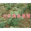 大红袍花椒苗好吗?红河/文山大红袍花椒苗供应-云南花椒苗