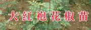 文山大红袍花椒苗批发&樱桃成品苗/雪松苗批发