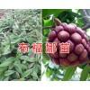 云南布福娜(黑老虎)苗栽培基地&布福娜果苗批发价格