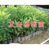 哪里有杨梅苗出售/云南杨梅苗栽培基地-文山杨梅苗价格