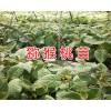 猕猴桃苗一棵的价格&奇异果苗什么时候种植-文山猕猴桃苗供应
