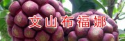 野生水果苗#文山布福娜驯化苗&哪有布福娜苗出售