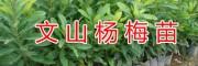 野生水果苗-野生布福娜驯化苗%杨梅苗-文山市果苗基地
