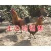 昆明哪里卖土公鸡#土公鸡活体供应/林下土公鸡