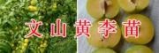文山日本翠甜柿苗、大红袍花椒&金太阳杏子苗销售