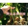 一年生草果苗哪里有卖?40公分草果苗的价格-云南草果苗
