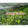 红河草果苗基地:屏边草果30万棵20公分至70公分出售