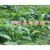哪种草果苗好?屏边优质草果苗-13649607025成活率高