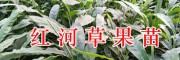 1年生草果苗&2年生草果苗-红河屏边草果苗种类