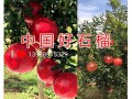 云南软籽石榴苗 (4514播放)