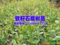 软籽石榴树苗哪家好——会泽高老庄农业庄园有限公司 (1410播放)