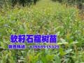 软籽石榴+软籽石榴酒——黑籽石榴树苗供应商 (6843播放)