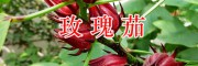 昆明洛神花(玫瑰茄)大货批发#功劳木&金樱根&当归销售