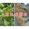 吴茱萸育苗技术#茱萸种子&2万棵茱萸苗待出售