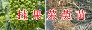 吴茱萸挂果苗销售,供应2万棵-丽江茱萸苗