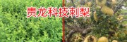 金刺梨多少钱一斤_新贵龙科技金刺梨种苗销售商