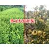 今日贵龙科技金刺梨供应厂家_求购贵州刺梨种子和苗找哪里