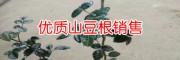 北山豆根图片&贵州山豆根供应商