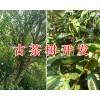 古茶树价格、百年古茶树/古茶树开发项目合作