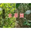 古茶树的价值-森林古茶树合作项目-古树茶采摘