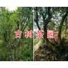 古树茶多少钱一斤/13577301395红河古茶树-茶园项目