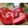 红色之爱苹果多少钱一斤&红河红色之爱苹果销售/云南红色之爱