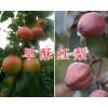 云南早酥红梨市场价格-红河早酥红梨批发商/早酥红梨供应