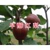 红色之爱苹果&个旧早酥红梨批发-13529668489