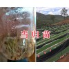 当归种子在哪里能买到/13987235380*云南当归种子生产商