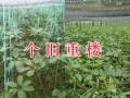 滇重楼苗的前景-红河州3年生重楼苗销售
