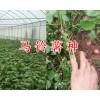 昆明洋芋批发供应-寻甸马铃薯基地/18988416988