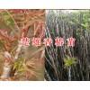 楚雄香椿树苗价格/香椿树苗出售-13577804428