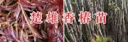 香椿苗栽培基地:楚雄腾烊中草药香椿苗销售