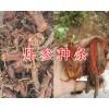 四川丹参产地-紫花丹参种条销售/四川紫花丹参中药材种植网