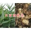 川黄精不倒苗-多花黄精种茎出售,种植包回收