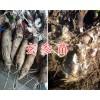 玄参苗种植技术指导-保山玄参苗批发商-15287543395
