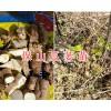 瓜蒌(天花粉)苗出售-瓜蒌基地400-6633-626