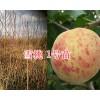 大理雪桃苗-雪桃1号苗、雪桃2号苗出售/种植技术