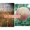 10月雪桃苗-大理新品种雪桃苗*