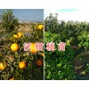 云南沃柑橘苗供应-13988528854/美国车厘子苗