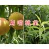 桃园培育基地:太阳红桃苗、寿桃苗出售