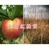 2018大理新品种桃苗:太阳红桃苗&优质鹰嘴桃苗-德国桃李苗