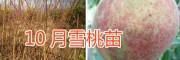新品雪桃苗—10月雪桃苗销售-雪桃种植技术指导