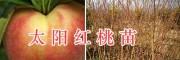 太阳红桃苗-大理优质桃树苗&太阳红桃苗批发