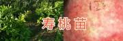 销售中华寿桃树苗&云南寿桃苗供应/大理桃园