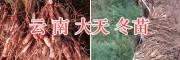 天门冬种苗栽培时间/云南大天冬—天门冬交易