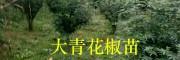 成活率高-袋装青花椒苗/昭通青花椒苗栽培