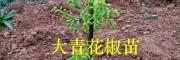 昭通嫁接青花椒苗-15125473767优质大青花椒苗产地